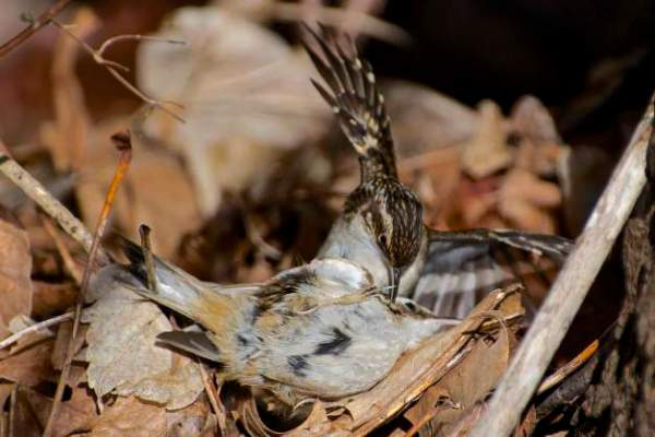 Brown_Creepers-fighting